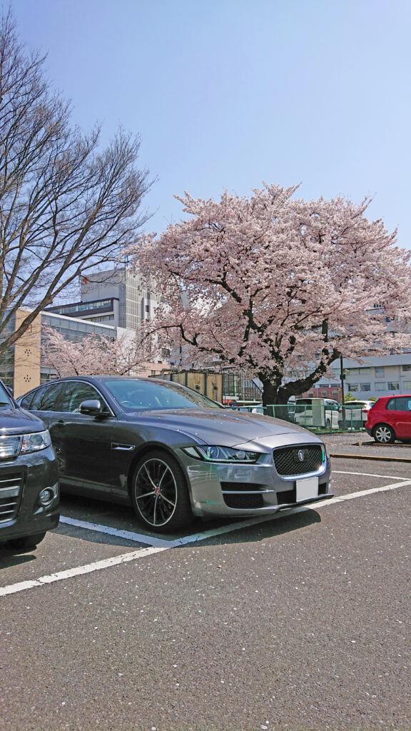 桜とジャガー