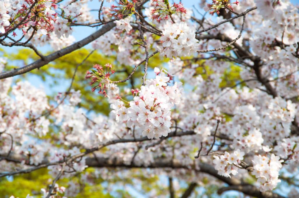 MT告知と桜
