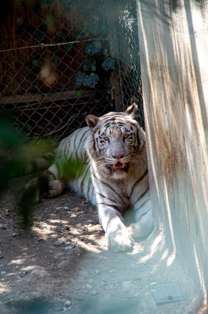 ジャガー VS ホワイトタイガー